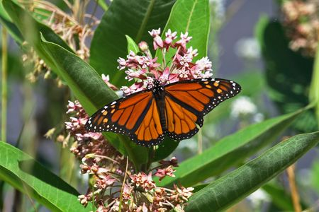 A monarch butterfly on a milkweed plant Stock Photo - 7459399