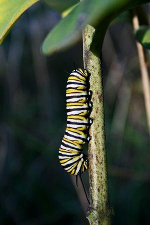 milkweed butterfly: A monarch butterfly  caterpillar on milkweed stem Stock Photo