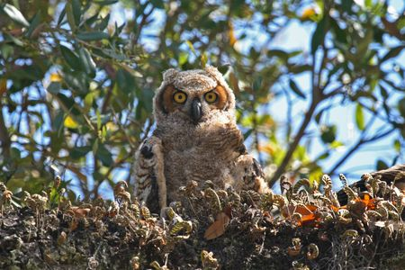Young great horned owl just out of the nest Фото со стока