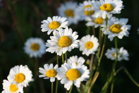 Several daisies with the focus on the center one