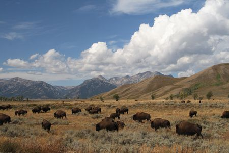 A herd of bison in the Grand Tetons