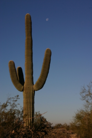 A saguaro cactus in early morning light