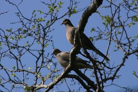 A pair of mourning doves perched in a tree 版權商用圖片