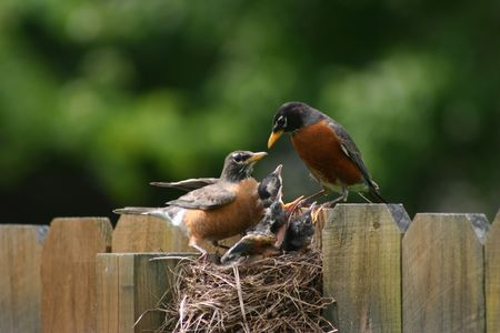 robins: A family of robins Stock Photo