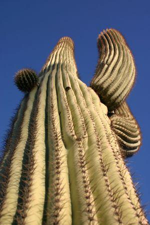 A saguaro cactus from a low perspective Stock fotó