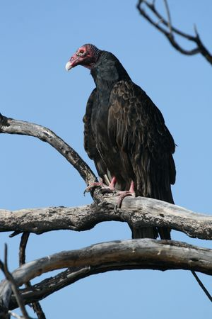 A turkey vulture perched on a dead branch Stock Photo - 7554335
