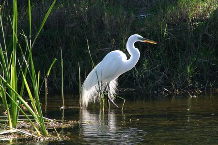 plumage: A great egret in mating plumage