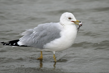 A seagull with a small fish in its beak
