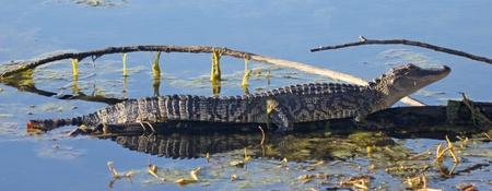 An American alligator sunning itself on a log Stock Photo