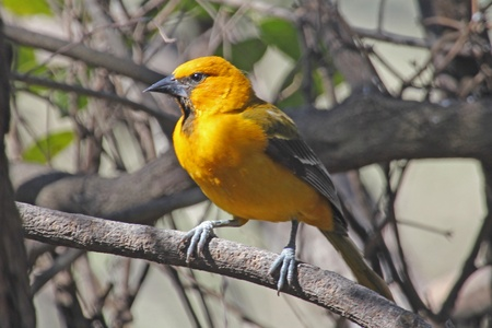 oriole: An altamira oriole perched on a branch