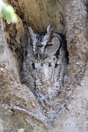 A screech owl in the crotch of a tree