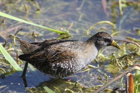 A spotted crake looking for a meal