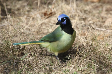 A green jay on the ground Stock Photo