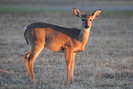 An alert white-tailed doe