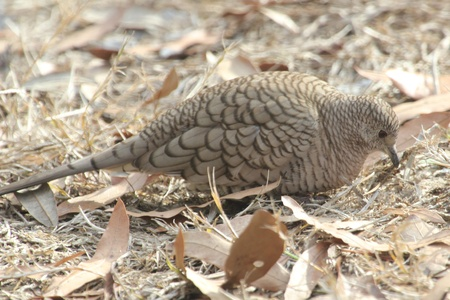 A common ground dove searching for a meal