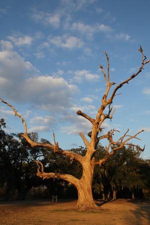 A live oak tree that has died