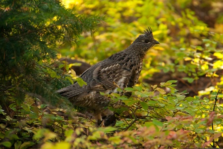 thicket: A partridge in a thicket