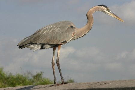 A great blue heron with a cloudy sky for a background