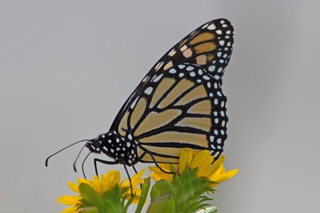 A monarch butterfly on a yellow flower