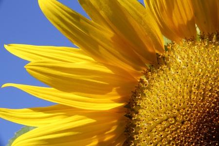 A closeup of a sunflower against a blue sky