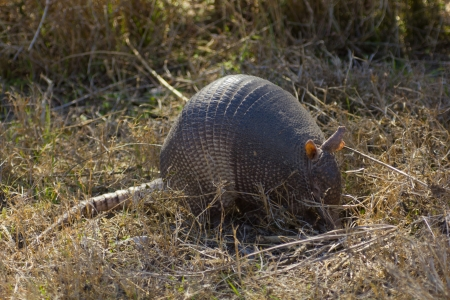 A nine-banded armadillo searching for a meal