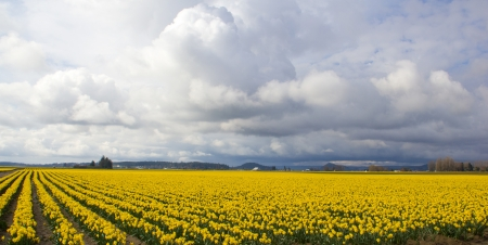 A field of daffodils under a cloudy sky Stock Photo