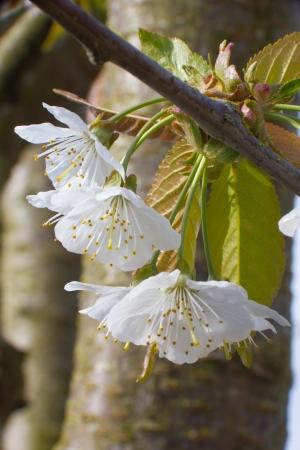 A closeup of cherry blossoms Stock Photo