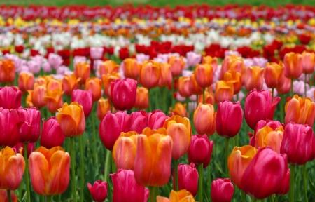 A field of multicolored tulips Stock Photo