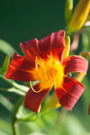 A beautiful lily blossom Stock Photo