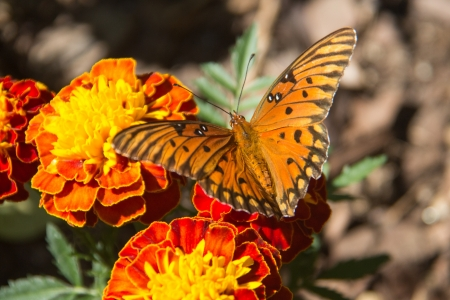 A butterfly on a marigold flower