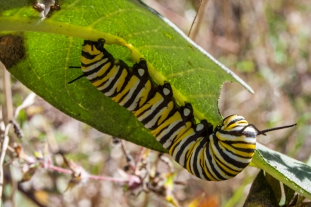 A monarch caterpillar eating a milkweed plant Stock Photo