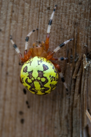 orb weaver: A marbled orb weaver spider Stock Photo