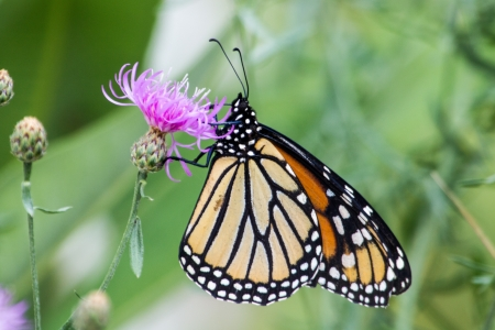 A monarch butterfly on a thistle blossom