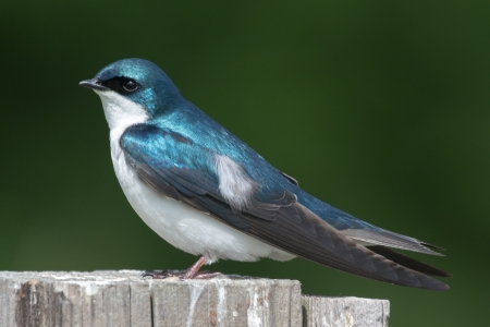 A tree swallow perched on a post