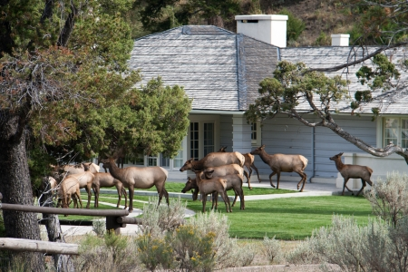 An elk herd visiting a residential home Stock Photo