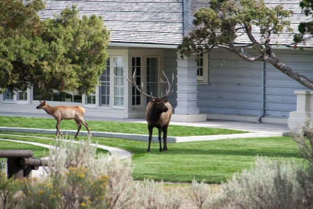 A bull elk visiting a residential home