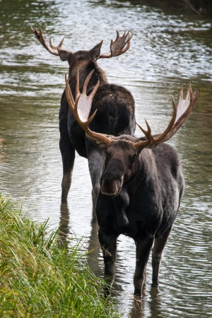 A pair of bull moose standing in water