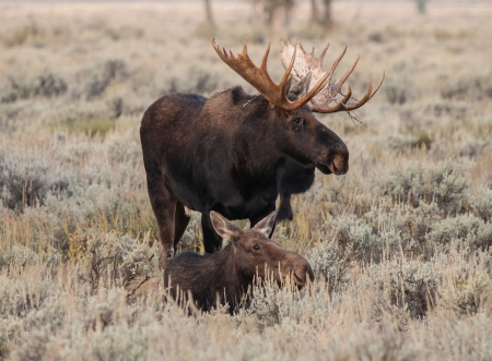 A bull and cow moose in a field