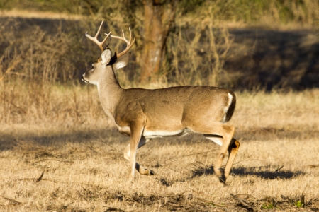 A whitetail buck making a hasty exit