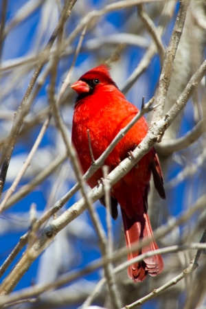 A male cardinal perched on a tree branch