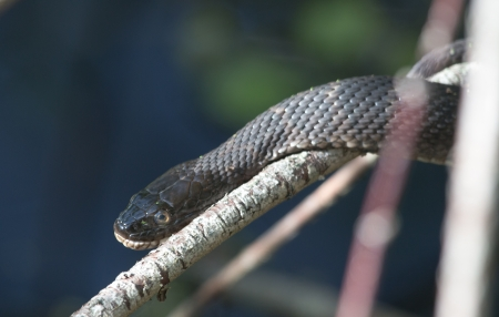 A closeup of a northern water snake