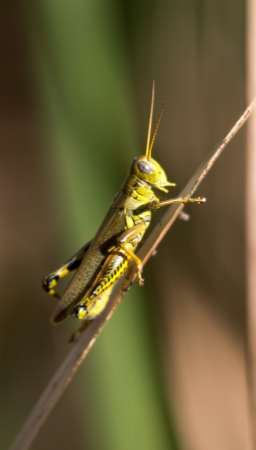 A grasshopper on a cattail stalk