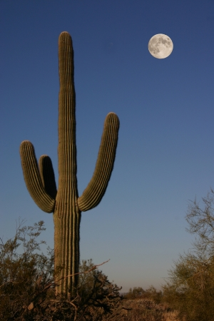 A Saguarro cactus in the early morning light under a full moon