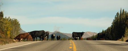 Several cattle on a major highway