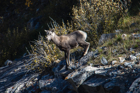 A bighorn lamb on a hillside Stock Photo
