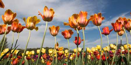 Tulip blossoms against a beautiful sky Stock Photo