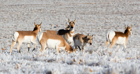 Several antelope on a snow covered field