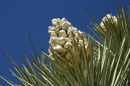 yucca: The blossom of a yucca plant against a blue sky