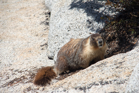 An inquisitive marmot on some rocks
