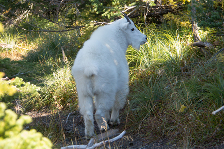 A white mountain goat in a thicket